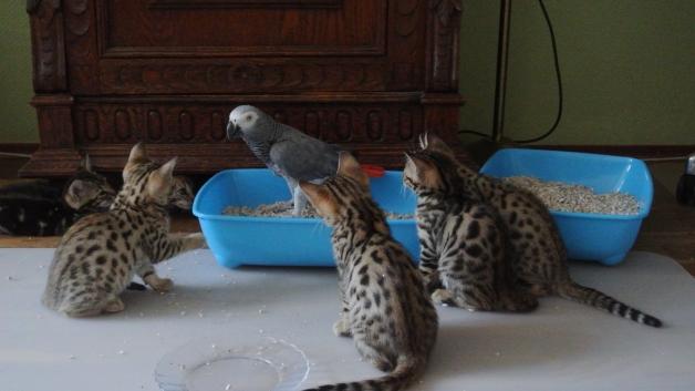 kittens en Sjakko (8w)