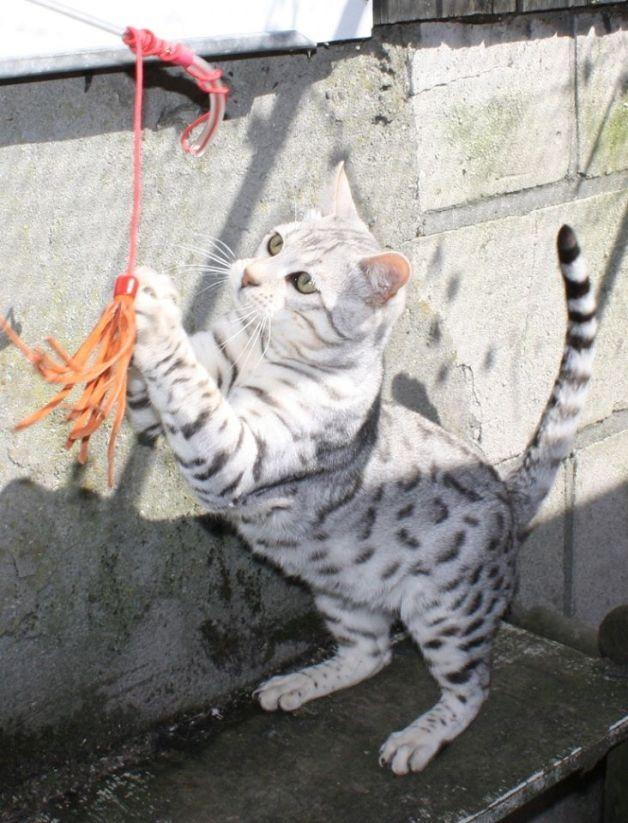 Arindi Cats Veyron2